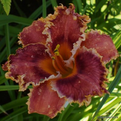 Daylily 'Interwiew with a Vampire' (2)