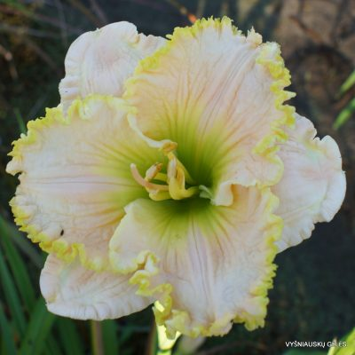 Daylily 'Irish Halo'