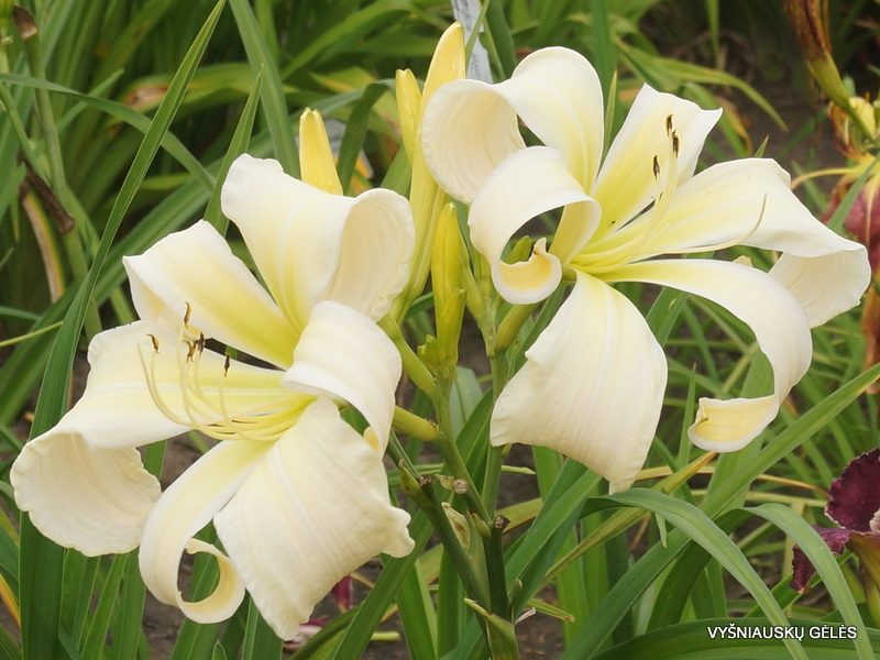 Daylily 'Isabelle Rose' (3)