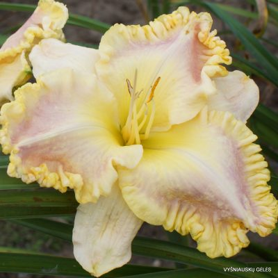 Daylily 'Lycean'