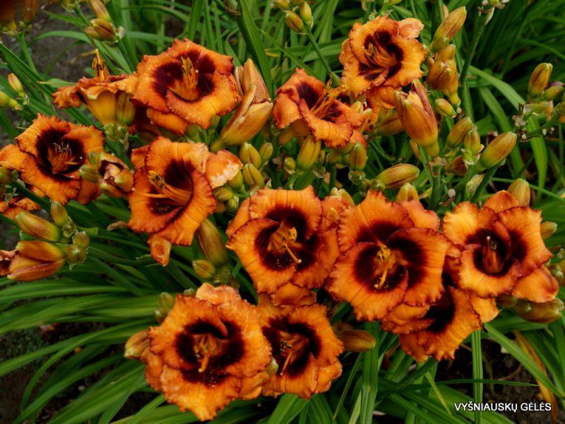 Daylily-Madeline-Nettles-Eyes-2