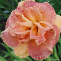 Daylily 'Martian Sunset'