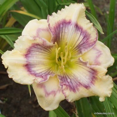 Daylily 'Purple Teardrops'