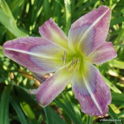 Daylily 'Rainbow Maker'
