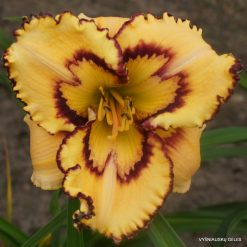 Daylily 'Retro Afternoon'
