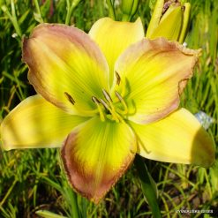 Daylily 'Rhapsody In Green'