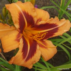 Daylily 'Tech Colors'