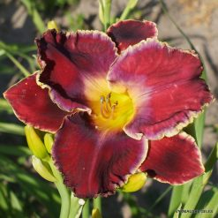 Daylily 'The Blue Parrot'