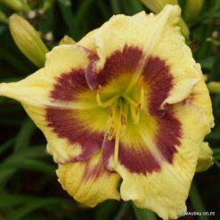 Daylily 'Wedgefield Plantation'
