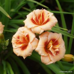 Daylily 'You Angel You'