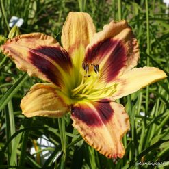Hemerocallis 'Adventure Time'
