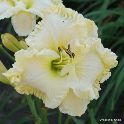 Hemerocallis 'Alpine Ruffles'