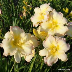 Hemerocallis 'Beautiful Edgings' (2)