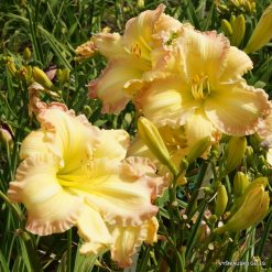 Hemerocallis 'Beautiful Edgings' (3)