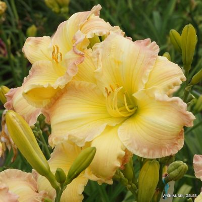 Hemerocallis 'Beautiful Edgings'