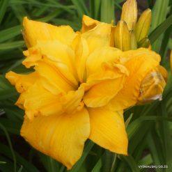 Hemerocallis 'Big George'