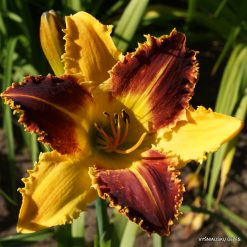 Hemerocallis 'Black Horns'