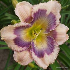 Hemerocallis 'Blue Eyed Cajun'