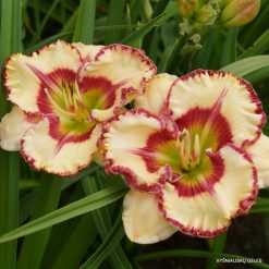 Hemerocallis 'Boitzer Red Diamond Girl'