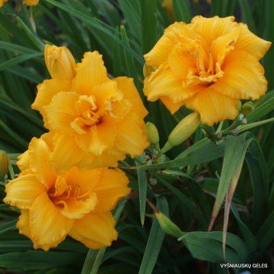 Hemerocallis 'Condilla' (2)