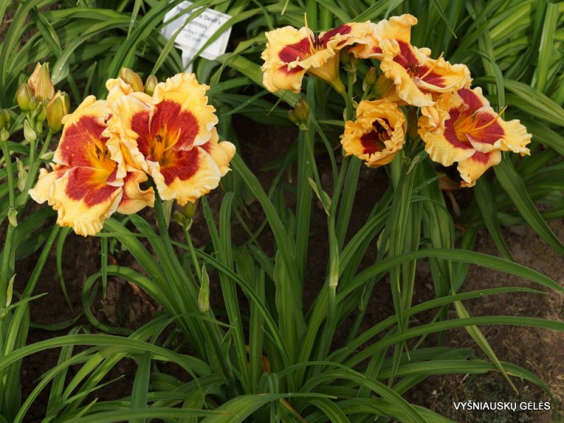 Hemerocallis 'Connie Can't Have It' (2)