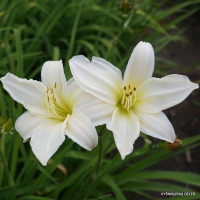Hemerocallis 'Dad's Best White' (2)