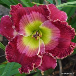 Hemerocallis 'Dale Hensley'