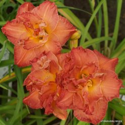 Hemerocallis 'Dinner and a Movie'
