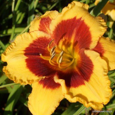Hemerocallis 'Dragon Pinata' (2)