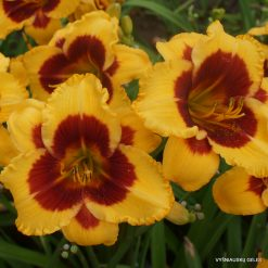 Hemerocallis 'Dragon Pinata'