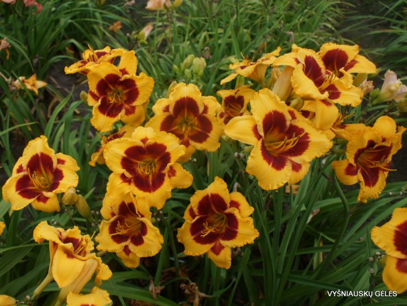 Hemerocallis 'Dragon Pinata' (3)