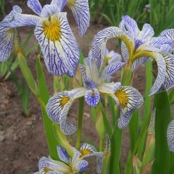 Iris 'Roy's Repeater' (3)