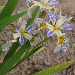 Iris 'Roy's Repeater' (4)