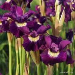 Iris 'Sultans Ruby'