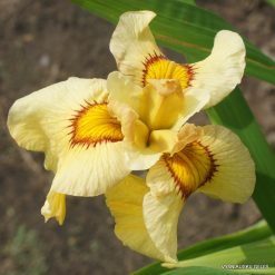 Iris 'Akimatsuri'