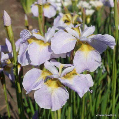 Iris 'Ama No Hane' (2)