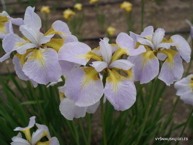 Iris 'Ama No Hane' (3)
