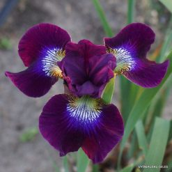 Iris 'Berlin Purple Wine'