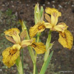 Iris 'Berlin Tiger' (3)