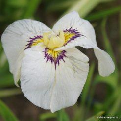Iris 'Byakuya No Kuni'