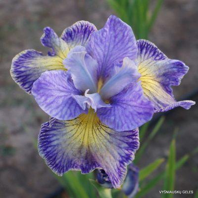 Iris 'Cape Cod Boys' (2)