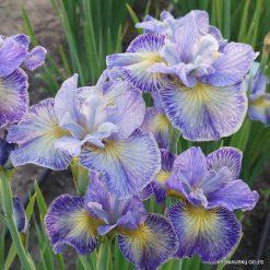 Iris sibirica A – E
