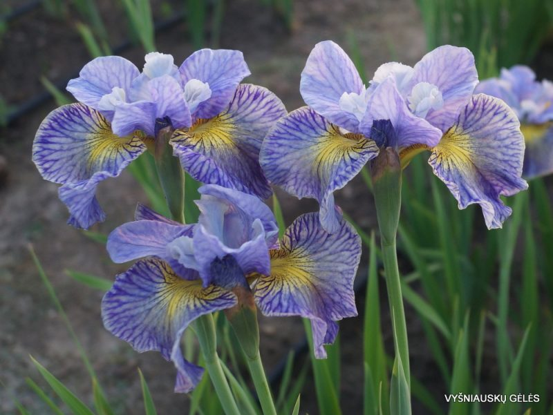Iris 'Cape Cod Boys' (3)