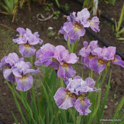 Iris 'Careless Sally' (2)