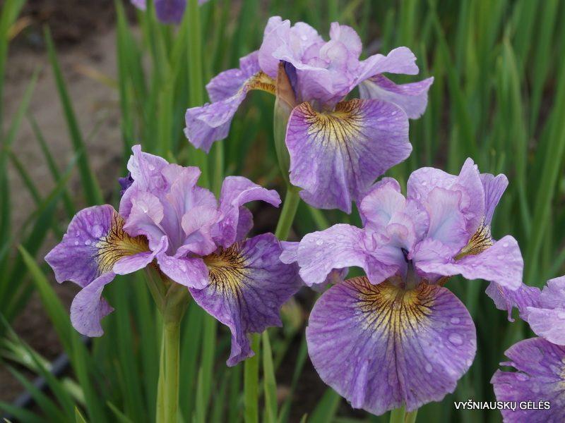 Iris 'Careless Sally' (3)