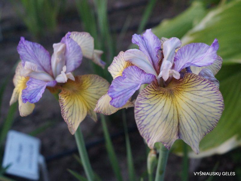 Iris 'Carnivalito' (3)