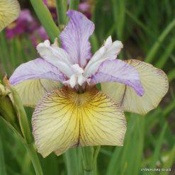 Iris 'Carnivalito' (4)