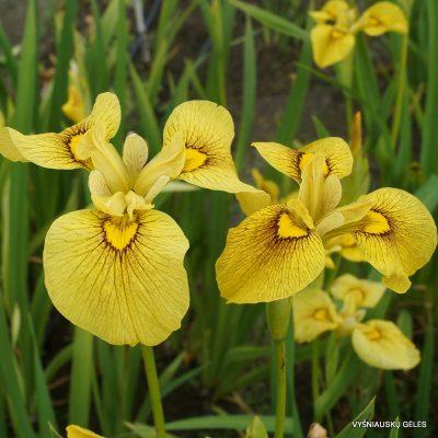 Iris 'Chance Beauty' (2)