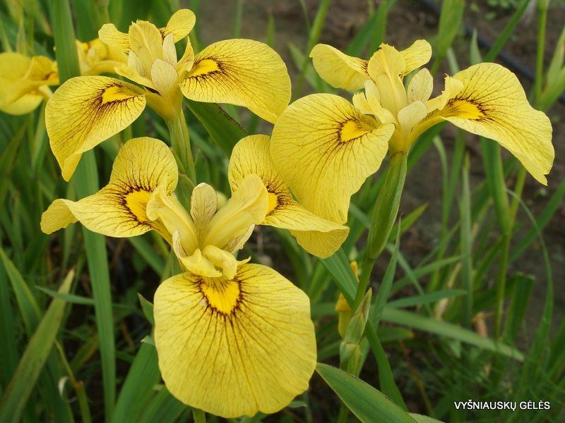 Iris 'Chance Beauty' (3)