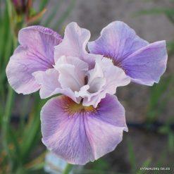 Iris 'Cherry Lynn'